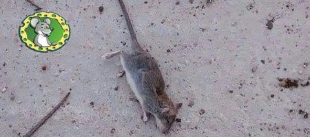 Cómo acabar definitivamente con las ratas
